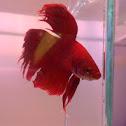 Peixe-betta (Siamese Fighting Fish)
