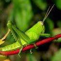 Javanese grasshopper nymph
