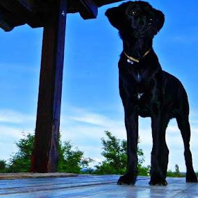 Little Big Love by Nat Bolfan-Stosic - Animals - Dogs Portraits ( love, legs, long, labrador, dog )