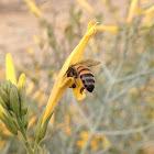 Yellow-flowered Chuparosa
