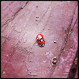 Multicolored Asian Lady Beetles of Houston
