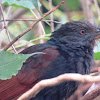 Coucal or Crow Pheasant