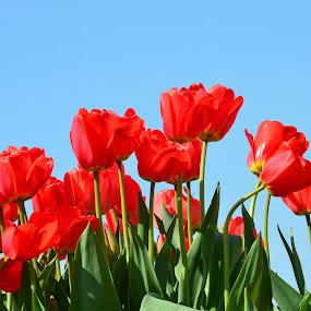 Red tulips with a beautiful background of the sky by Reshmid Ramesh - Flowers Flower Gardens ( red, tulip garden, red tulips, tulips, garden,  )