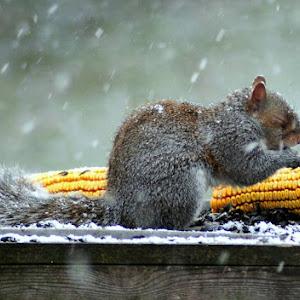 snow squirrel.jpg