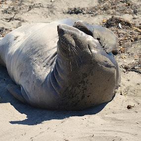 Darn, I Forgot My Sun Screen by Ed Hanson - Animals Other Mammals ( sand, nature, sea lion, beach )