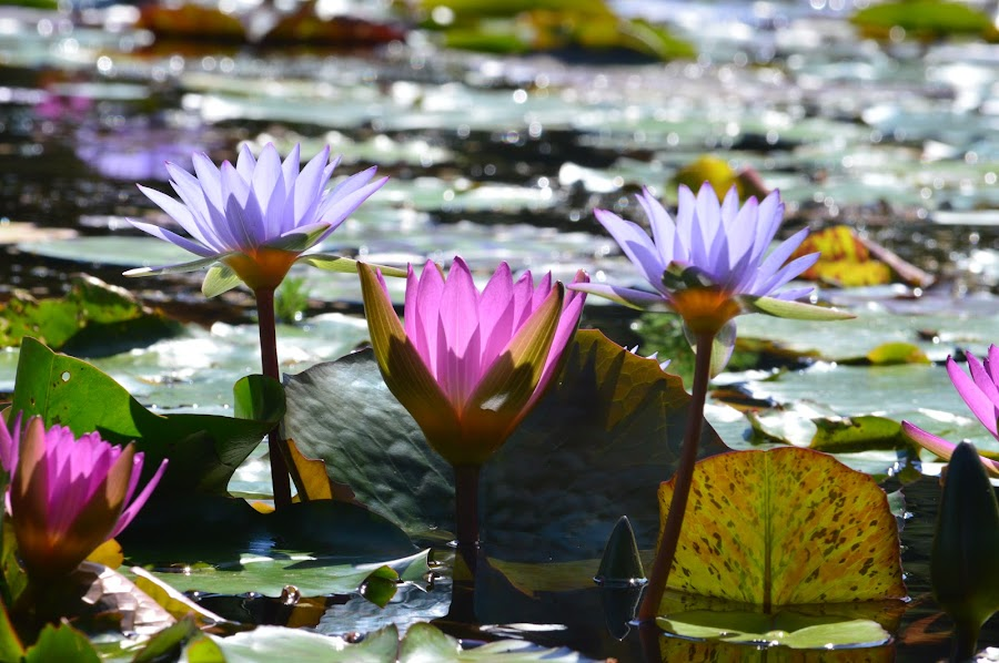 Water Lilies by Gayle McMahan-Vuletic - Flowers Flower Gardens ( pink water lilies, purple water lilies, water lilies, water lilies in a pond, relax, tranquil, relaxing, tranquility )