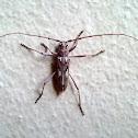 Ivory Marked Beetle