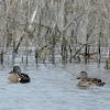 Blue-winged Teal Ducks (pair)