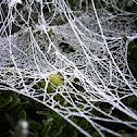 Nursery Web Spider web