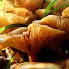 Honey fungus / Medenjača