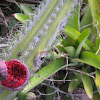 Mandacarú vermelho