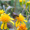 Bibionid fly