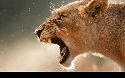 Lion Live Wallpaper- screenshot thumbnail