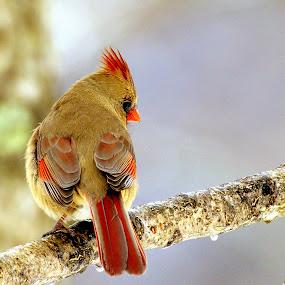 Shy Cardinal by Stephanie Turner - Animals Birds ( winter, cardinal, snow, nature up close, birds,  )
