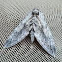 Five-spotted Hawk Moth