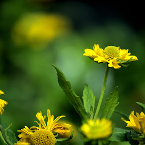 Dreaming of Spring by Chris Giese - Flowers Flowers in the Wild ( nature, blooms, perennial, yellow, buds, flower )