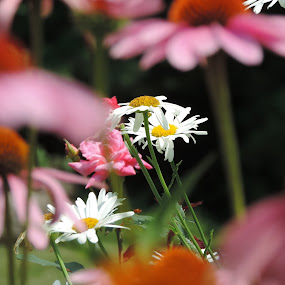 by Michelle Cutt - Flowers Flowers in the Wild ( daisies, coneflower, flowers )