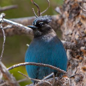 Steller's Jay by Eddie Tuggle - Animals Birds ( bird, blue, colorado, rocky mountain national park, steller's jay )
