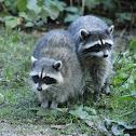 Raccoon(s)