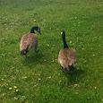 montreal wildlife