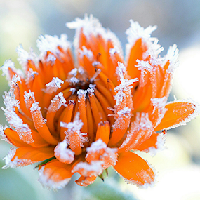 Frost by Faillie Photos - Flowers Single Flower (  )
