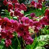 Orchid ( Dendrobium)