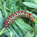 Spurge hawk moth