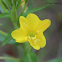 Onagre bisannuelle / Evening primrose biennial