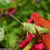 Green Bird Grasshopper (nymph)