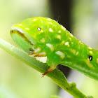 Capusa senilis larva