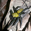 Thelcticopis sp./ Tube-dwelling spiders