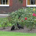 Raven (Corvo)