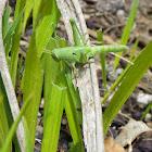 larval American Grasshopper