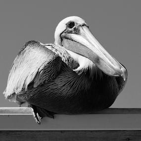 Pelican on a Roof (B&W) by Bridgette Rodriguez - Black & White Animals ( bird, animals, black and white, pelicans, pelican, birds, animal,  )