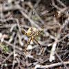 Aranha - Argiope lobata