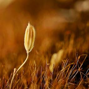 Paddy by Madhu Payyan Vellatinkara - Nature Up Close Leaves & Grasses ( paddy field, at the top, goldie, dusk, close up )