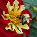 Dahlia (and a Bumblebee)