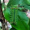 Limacodidae caterpillar