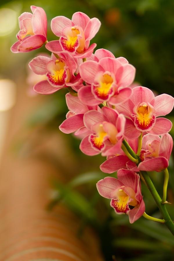 Pink Flower by Jamie Massarello - Flowers Flower Gardens ( pink flower, conservatory, asheville, biltmore, gardens )