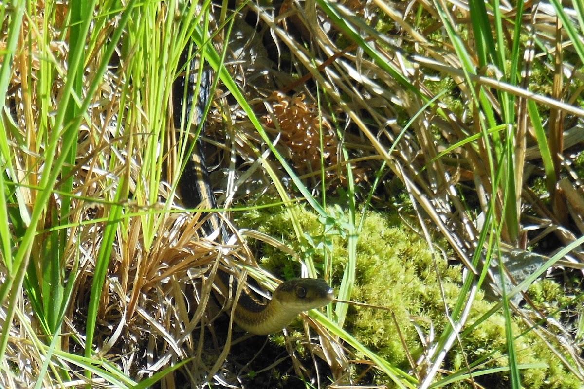 Mountain Garter Snake