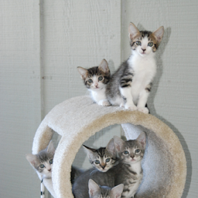 The Six Pack by Barb Moore - Animals - Cats Kittens ( playing, furnitue, kittens, 6weeks old, six, baby, young, animal, #GARYFONGPETS, #SHOWUSYOURPETS,  )