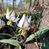 Trout Lily (Dogtooth violet)