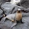 Lobo o león marino de las Galápagos. Sea lion