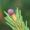 Scots Pine; Pino Silvestre