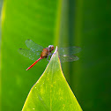 Fiery Skimmer Dragonfly