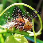 Clipper Butterfly Caterpillar