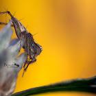 Striped Lynx Spider