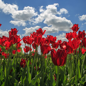 Sea of Red Tulips by Troy Snider - Flowers Flower Gardens ( green, sun coming through wildflowers, flower gardens, red tulip, tulips, breathtaking, spring, spring colorful flowers, blue sky, red, outdoors, garden, stunning, springtime )