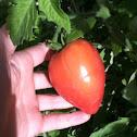 Pink oxheart tomatoe