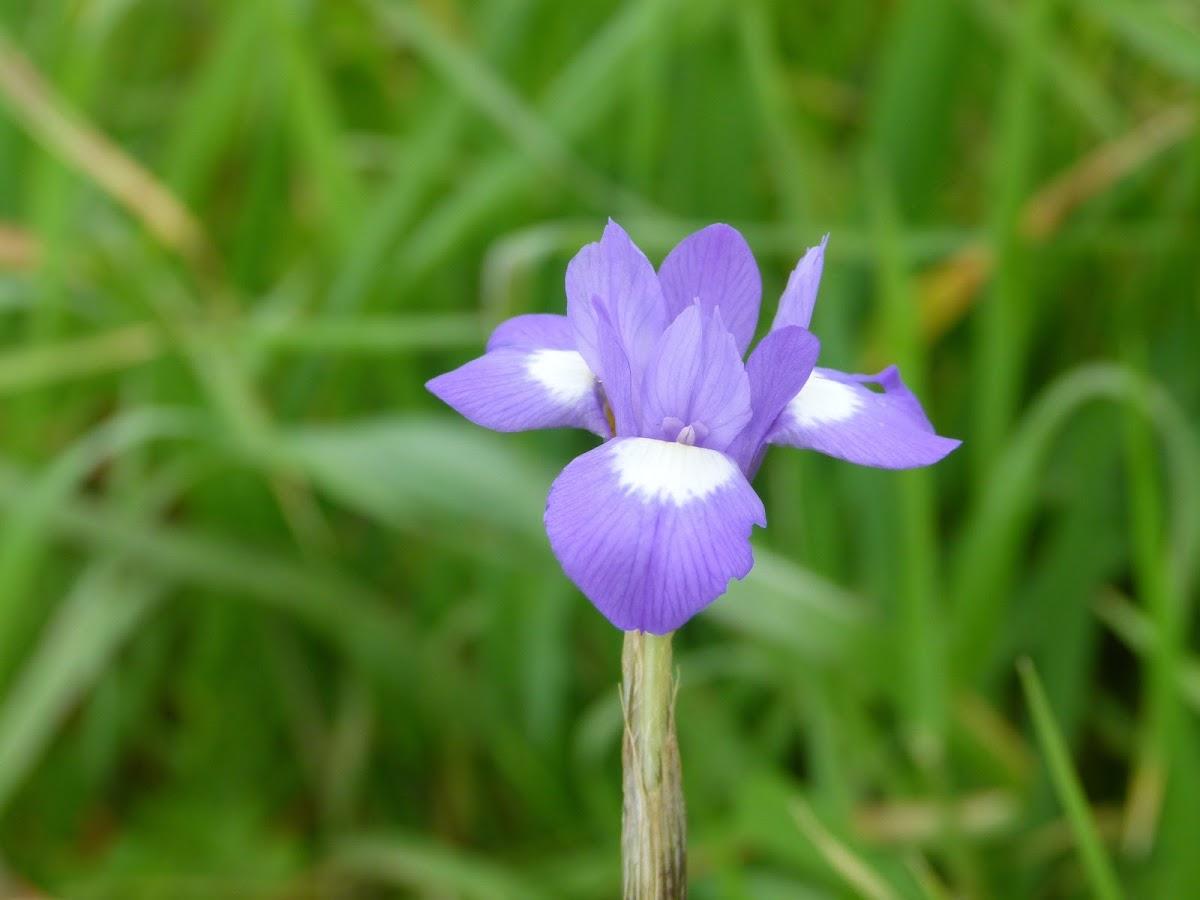 Blue Dutch Iris Iris x hollandica